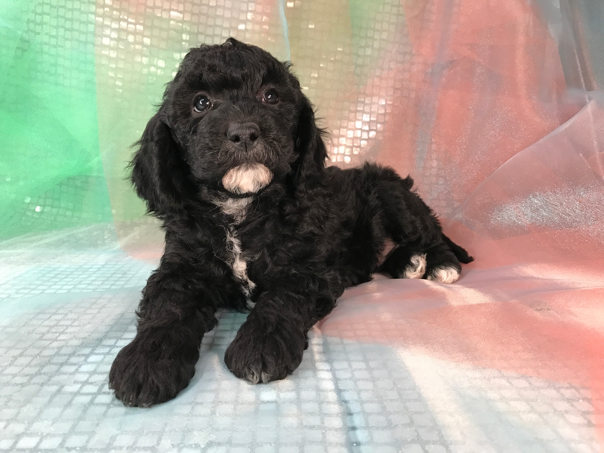 Black and White Female Miniature Gonldendoodle Puppy for Sale DOB 10-29-2017