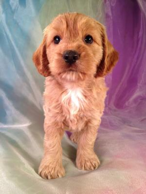 Male Cockapoo Puppy for sale in Iowa #3 DOB 7-12-14 Are you searching for the best cockapoo puppies in Iowa? Purebredpups.com is Iowa's Top Breeder!