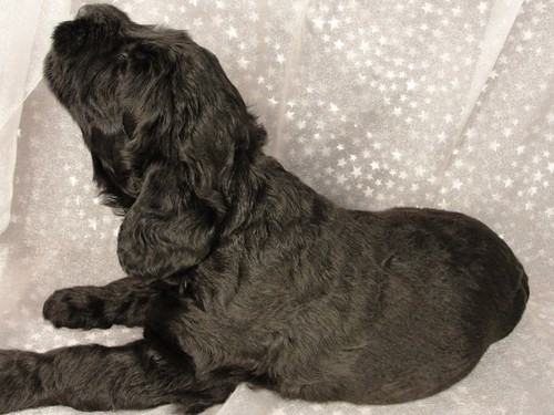 German Import Breeder Giant Schnoodle Puppies For Sale In Iowa With