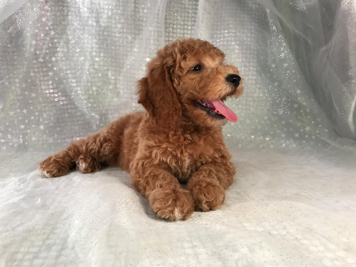 Happy Goldendoodle Pup for Sale.  Miniature Red Male. Ready Now!