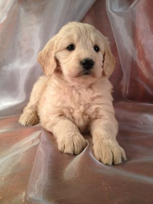 Female Goldendoodle Puppy Born 10-25-2013|Need a puppy but live in California? Goldendoodles for sale can be sent out by air for $150