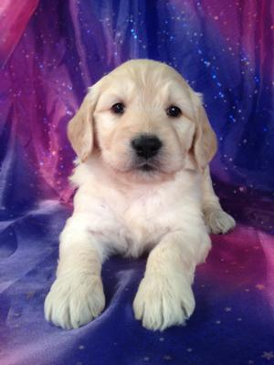Female Goldendoodle Puppy for sale #1 Born September 20th 2013|Goldendoodles for sale in Boston MA and Philadelphia PA can cost more than Purebredpups even after $150 is applied.