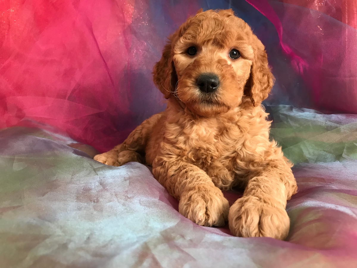 Goldendoodle Puppies for Sale in Iowa 50446