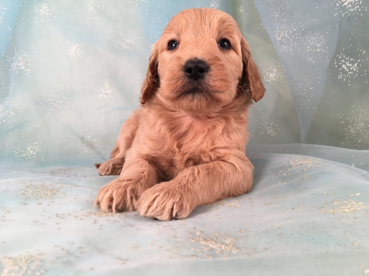 Goldendoodle Ready Soon! DOB 1-7-2019 $975