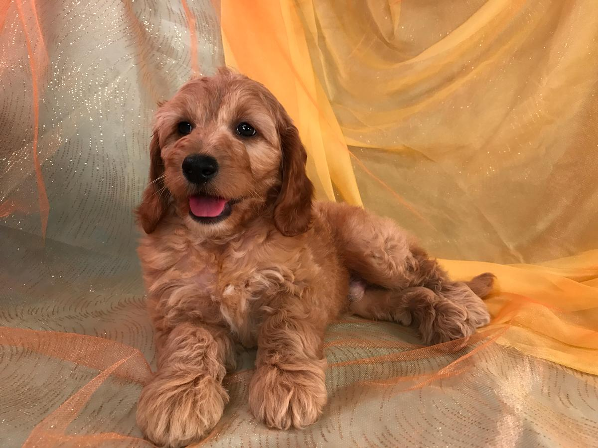 Mini Goldendoodle Puppy for Sale.  Professional Breeders Located in North Iowa.