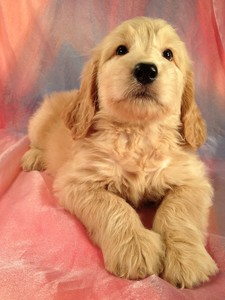 Iowa Puppies for Sale- Iowa Golden Doodle Breeder