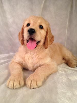 Female Goldendoodle Puppy for sale #1 DOB 8-1-14 Standard Goldendoodle breeders, Brian and Karen Sterrenberg, are setting up appointments now to show the latest litter of Goldendoodle mixes!