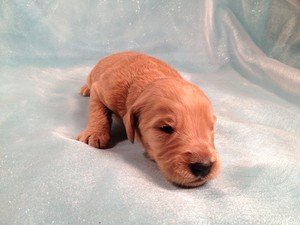 Male Goldendoodle #10 For sale In Iowa Ready December 2012