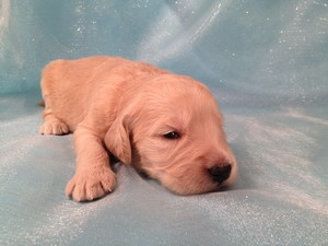Female Goldendoodle Puppies for sale, Goldendoodle #14