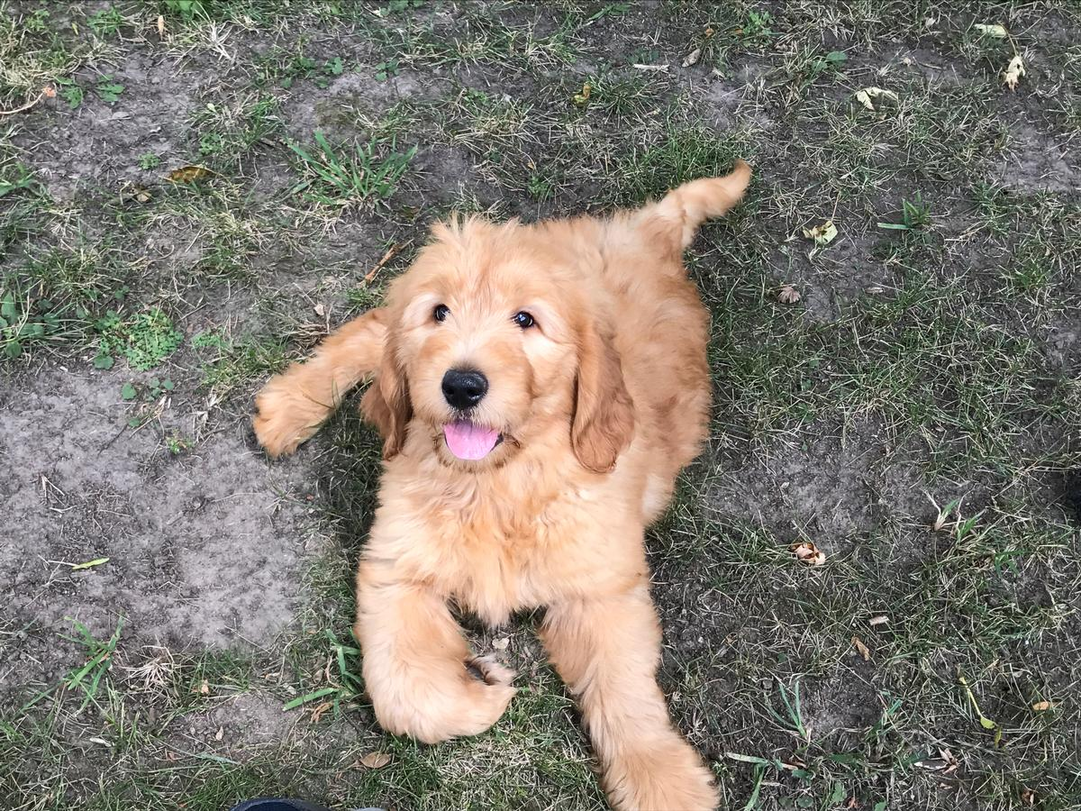 Apricot Male Goldendoodle Breeders- Ready Now!