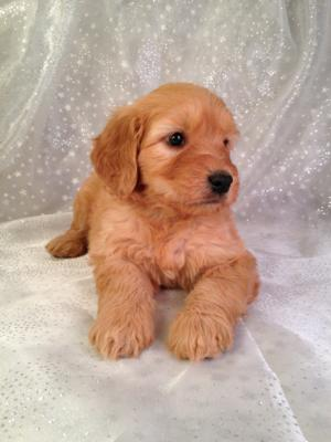 Have you been looking for Goldendoodle Puppies for sale in Illinois, Wisconsin, Iowa or Minnesota?  Purebredpups is located close enough to drive and meet the Puppies!  Professional Breeder of Goldendoodles for over 20 years!