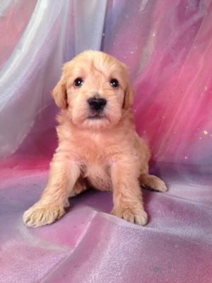 Male Schnoodle Puppy for sale #1 Born August 22, 2013 Schnoodle ...