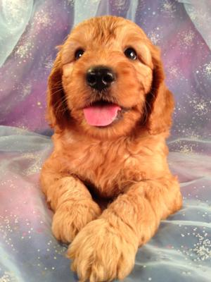 Male Miniature Goldendoodle Puppy for sale #1 Born June 19th, 2013|Professional Mini Goldendoodle Breeders|Dog Breeder for over 20 Years