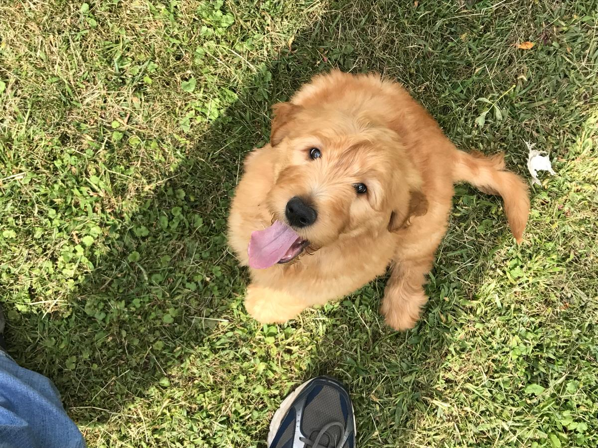 Goldendoodles for sale in Iowa