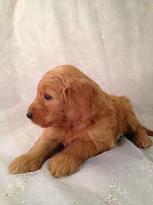 Standard Red Puppies For Sale In Iowa By Iowa's Top Goldendoodle Breeder Purebredpups! 2