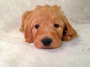 Standard Red Puppies For Sale In Iowa By Iowa's Top Goldendoodle Breeder Purebredpups! 3