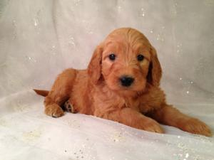 Standard Red Puppies For Sale In Iowa By Iowa's Top Goldendoodle Breeder Purebredpups! 5