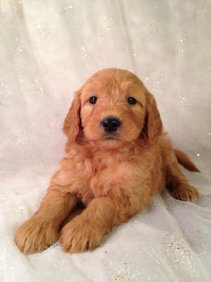 Standard Red Puppies For Sale In Iowa By Iowa's Top Goldendoodle Breeder Purebredpups!