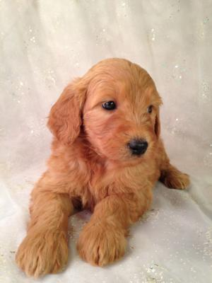 Standard Red Puppies For Sale In Iowa By Iowa's Top Goldendoodle Breeder Purebredpups! 4