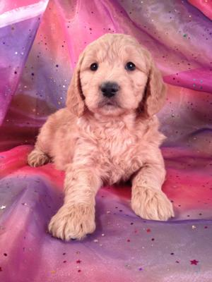 Female Goldendoodle Puppy for sale#1 DOB 12-23-14 Goldendoodles for sale in MN,IA,IL,WI,CA,NV,PA,DC,FL,MA,MD,ME,NJ,NH,NC,and RI will likely cost about Twice the Purebredpups Price to ship! Goldendoodle Breeders who sell airfare for $200.