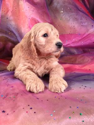 Red Goldendoodle Puppy for sale #2 DOB 12-23-13 Ready to go February 2014. Goldendoodle breeders with Goldendoodles Available now!