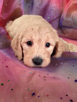 Female Goldendoodle Puppy for sale #3 Born December 23th 2013. Goldendoodle Breeders in Illinois and Wisconsin are welcome at Purebredpups!