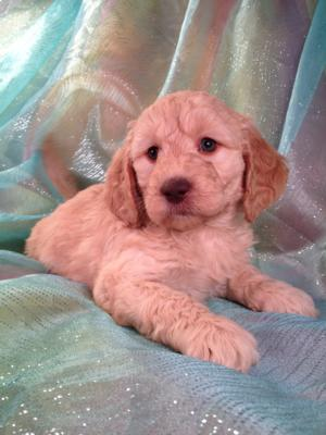 Female Goldendoodle Puppy for sale #4 DOB 12-23-13 |Professional Goldendoodle Breeder with Red Puppies for sale now!