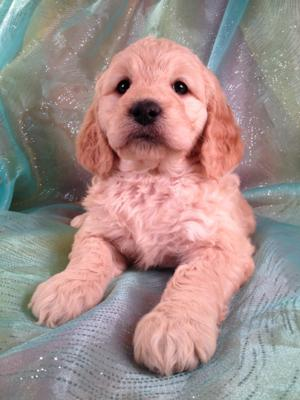 Goldendoodle #5 Female Puppy for sale Born Dec. 23, 2013 Ready February 2014|Breeders of Goldendoodles for sale