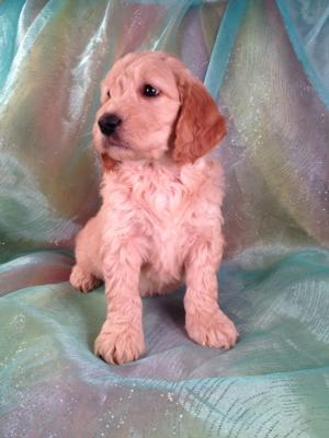 Male Goldendoodle #6 Puppy for sale Born 12-23-13 Ready February 2014|Goldendoodle Breeder with a one or two year Guarantee on health and Genetics of Puppies for sale
