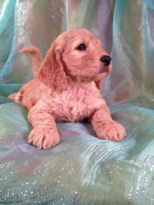 Puppies for sale Male Goldendoodle #7 DOB 12-23-13 Ready February 2014|Goldendoodles for less than Most Goldendoodle Breeders in California, Maine, New Hampshire, Nevada, and North Carolina.