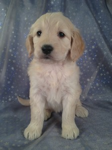 Female Goldendoodle Puppy for sale #1 Born February 16th 2013|Ready Mid April. $750 | Goldendoodle Breeders in Iowa