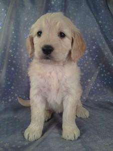 Goldendoodles,Puppy,sale,for,puppies,Goldendoodle,Iowa,Breeder%20013