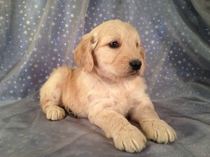 Female goldendoodle Puppy for Sale #2 Born Feb. 2013|Puppies for sale in Iowa|Goldendoodle Breeders