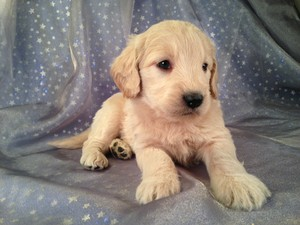Male Goldendoodle Pupp for sale In Iowa #3 DOB 2-16-13|Iowa Goldendoodles in search of a home in Iowa, Minnesota, Illinois, or Wisconsin!