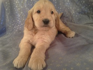 Male Goldendoodle Puppy for sale #4 Ready April 2013| We are Located 25 Miles south of Albert Lea Minnesota near I-35