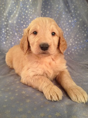 Male Goledendoodle Puppy for sale $750 Iowa Breeder| Goldendoodle Puppy #6