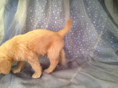 Male Goledendoodle Puppy for sale $750 Iowa Breeder| Goldendoodle Puppy #6 2