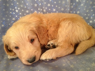 Male Goledendoodle Puppy for sale $750 Iowa Breeder| Goldendoodle Puppy #6 3