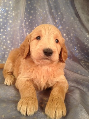 Male Goldendoodle for sale by an Iowa Breeder| Puppy #7 DOB 2-14-13