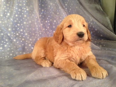 Male Goldendoodle for sale by an Iowa Breeder| Puppy #7 DOB 2-14-13 2
