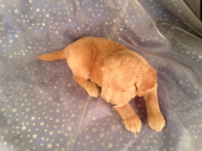Male Goldendoodle for sale by an Iowa Breeder| Puppy #7 DOB 2-14-13 3