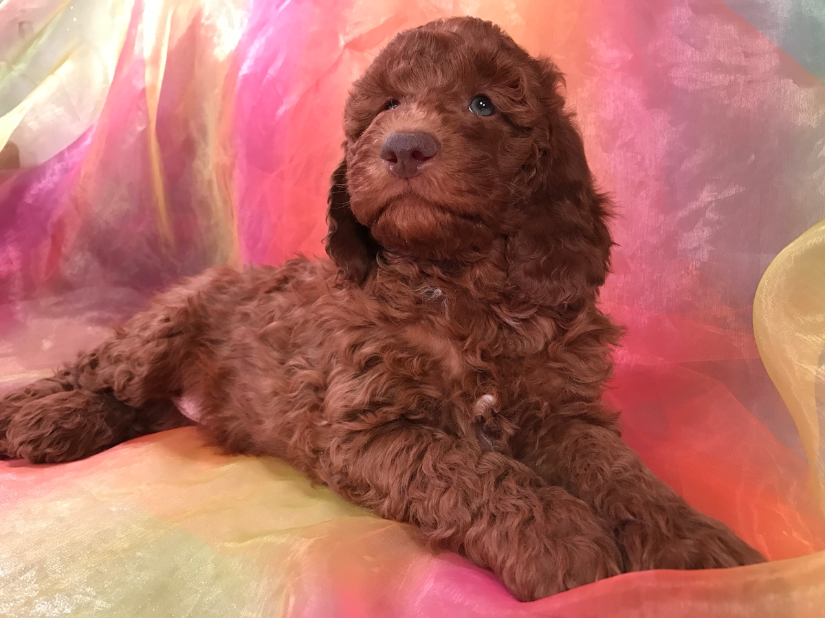 Green Eyed Miniature Goldendoodle