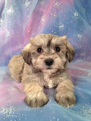 Female schnoodle Puppy for Sale #1 Born February 20, 2013| Iowa Puppies for sale Ready April 2013