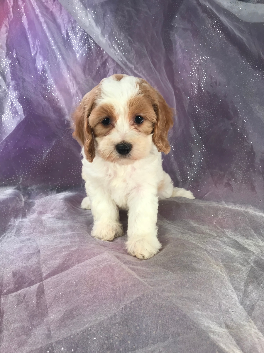 White and Red Cockapoo Puppy For Sale!