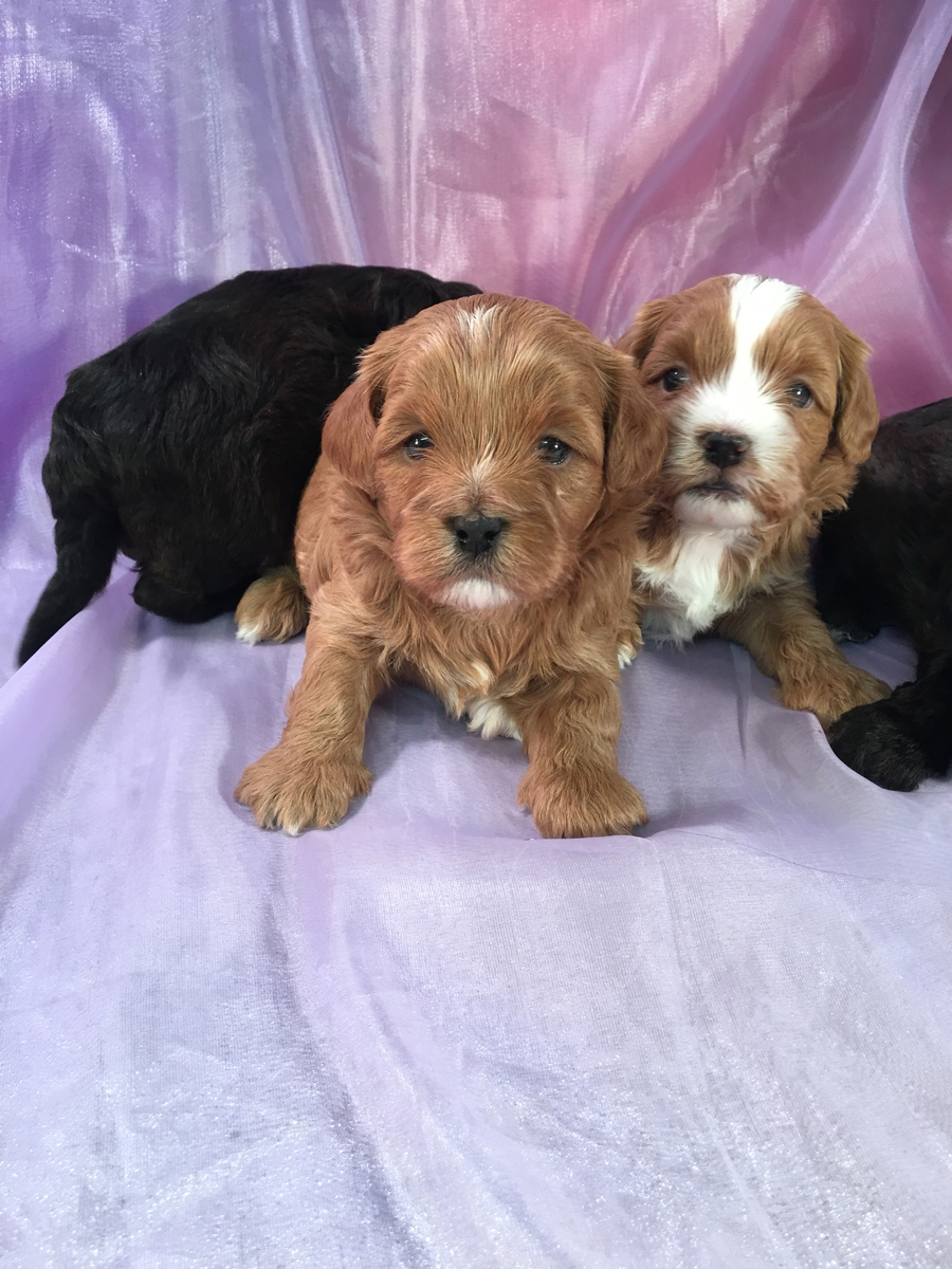 4 Male Shih Tzu Poodle Puppies Born 12-1-2018 $875 2