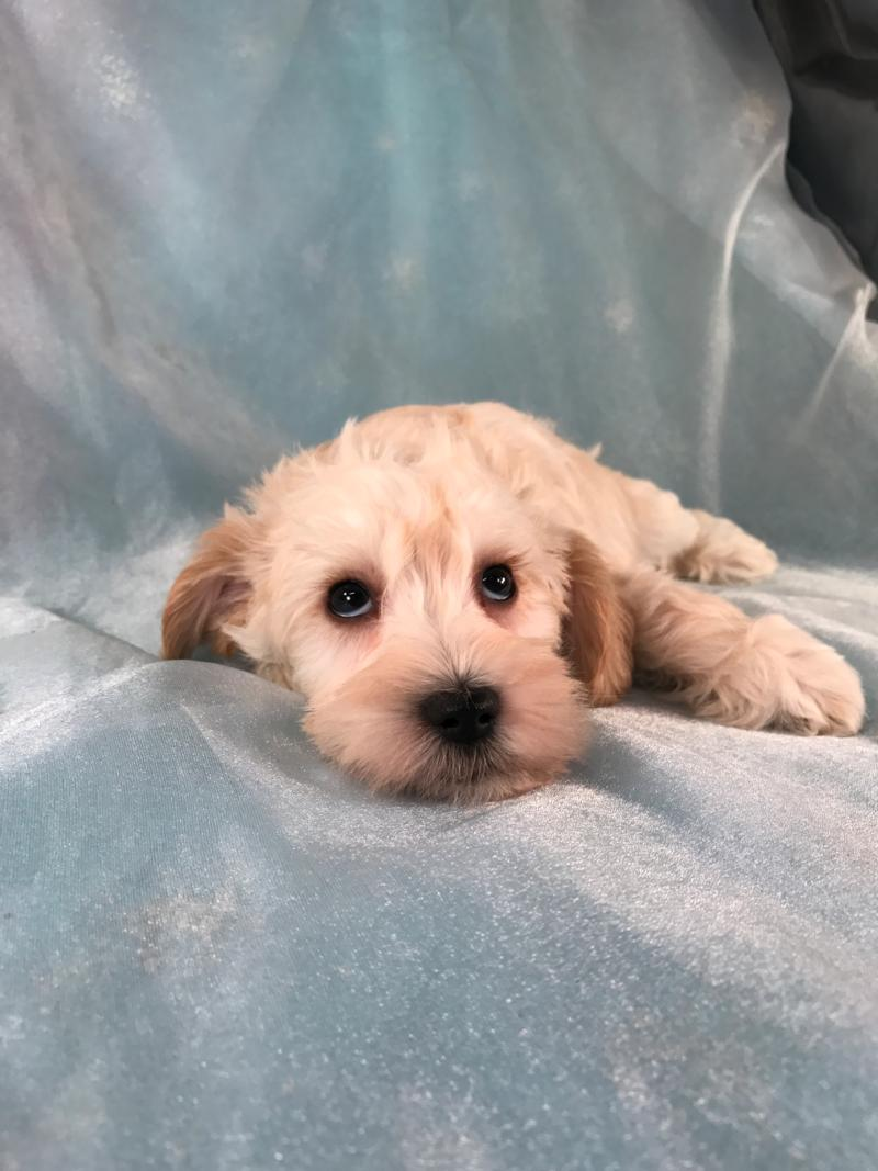 Mini schnoodle,Iowa Breeders,Top Breeder