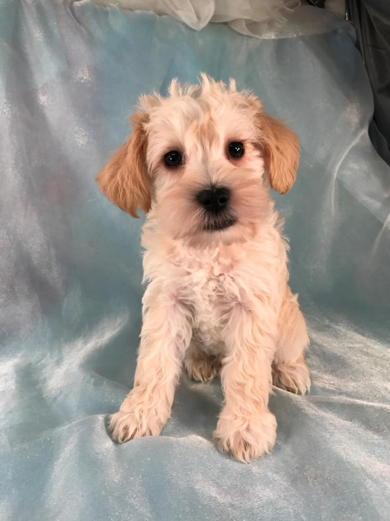Mini schnoodle puppies for sale, apricot Male