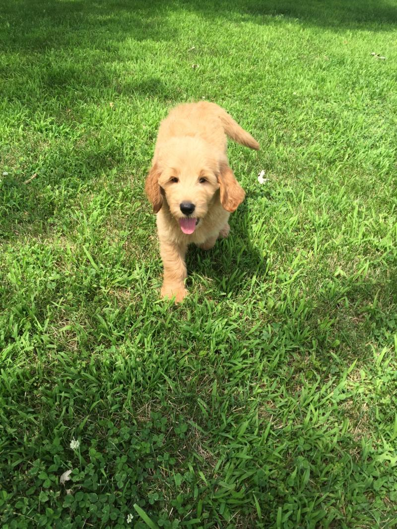 Attention Iowa, Minnesota, Illinois, and Wisconsin, Male Standard Goldendoodle Puppy for Sale $950 5