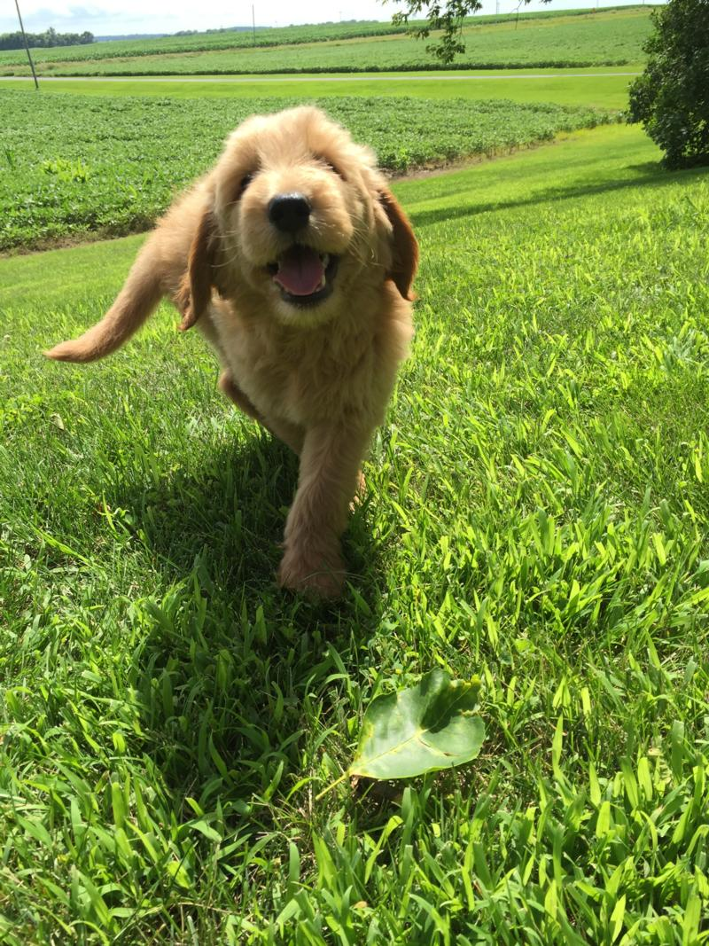 Attention Iowa, Minnesota, Illinois, and Wisconsin, Male Standard Goldendoodle Puppy for Sale $950 4