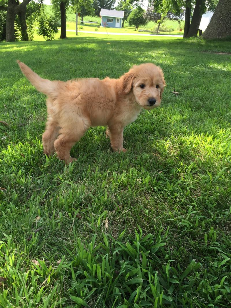 Attention Iowa, Minnesota, Illinois, and Wisconsin, Male Standard Goldendoodle Puppy for Sale $950 2